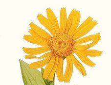 Arnica montana - Ria's Sonnentinktur